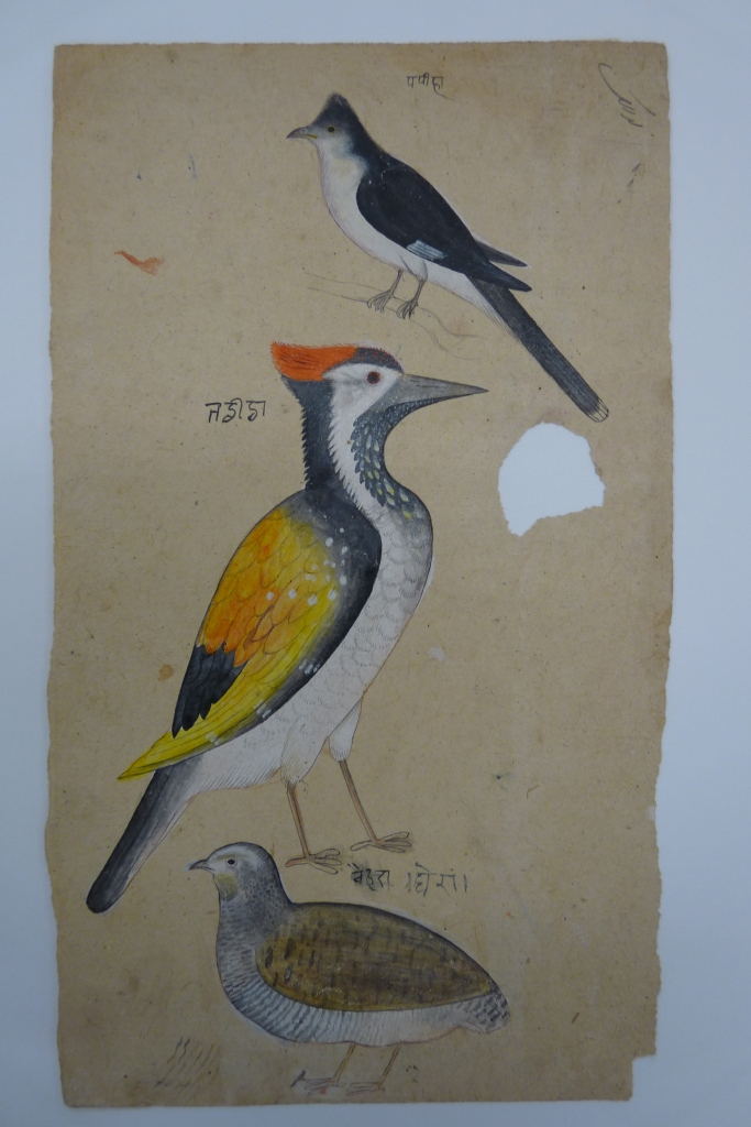 Three birds: Indian crested cuckoo,  woodpecker and  spotted quail. Opaque watercolour and black ink on handmade Indian paper. RV-3025-121
